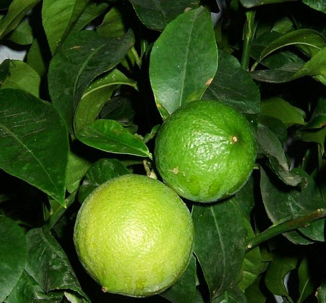 Bergamot orange essential oil mixed with jojoba or olive oil can be used as massage oil mixture that reduces anxiety.