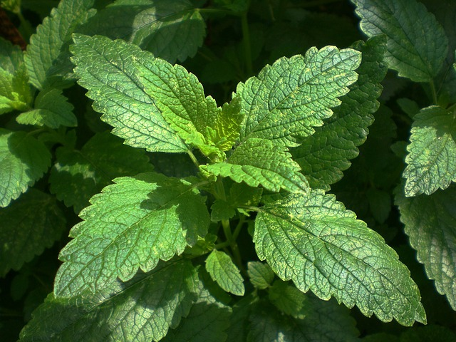 Lemon balm relaxes as well as strengthens the nervous system.