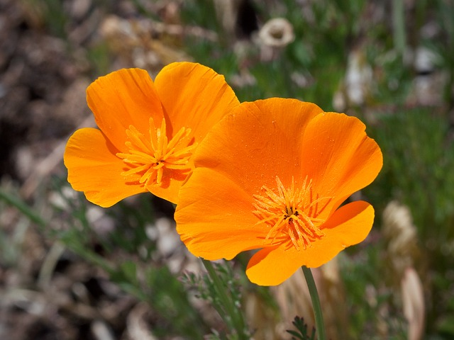 California poppy is used in solutions as a tranquilizer for better sleep