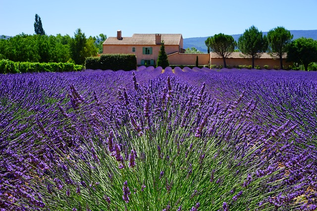 Lavender flowers are appreciated for its soothing and calming effect.