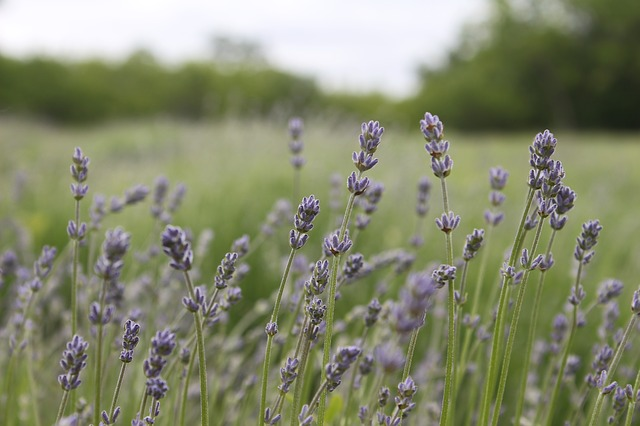 Patients were less anxious while waiting in the dental clinic when they scattered the smell of lavender in the waiting room.