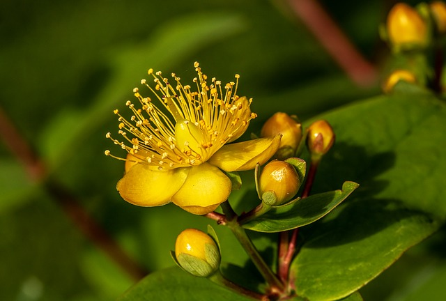 St. John's Wort is especially effective in treating mild forms of depression, anxiety and nervous agitation...
