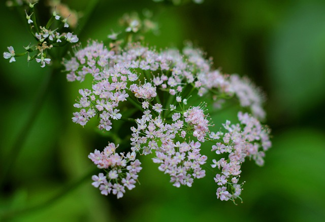 Valerian (Valeriana Officinalis) a recognized remedy for insomnia and anxiety in America since the mid-20th century